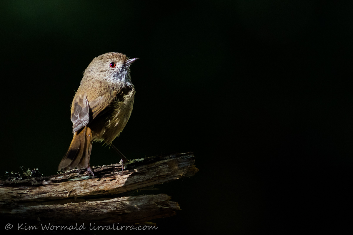 Brown Thornbill 1 - Kim Wormald