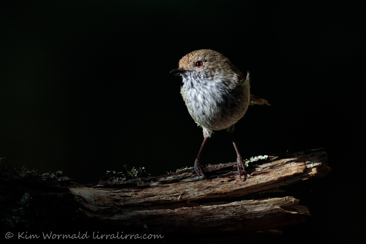 Brown Thornbill 2 - Kim Wormald