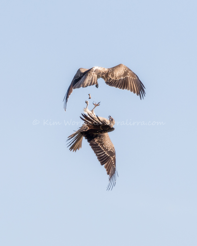 Whistling Kites playing - Ki m Wormald