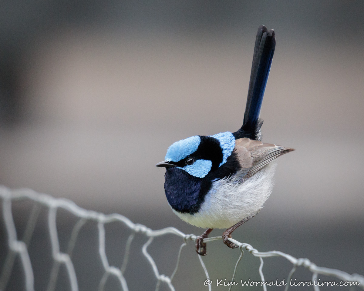 Superb Fairy-wren - Kim Wormald