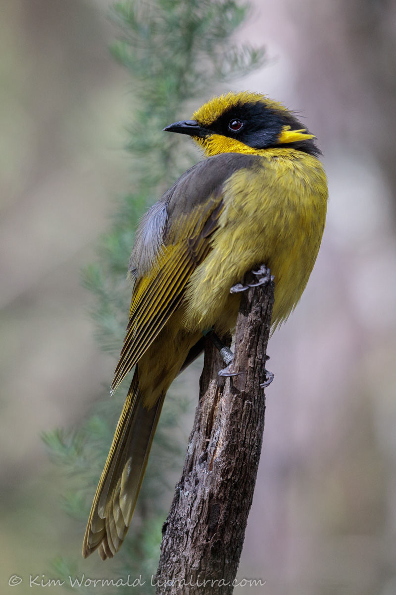 Helmeted Honeyeater 3 - Kim Wormald