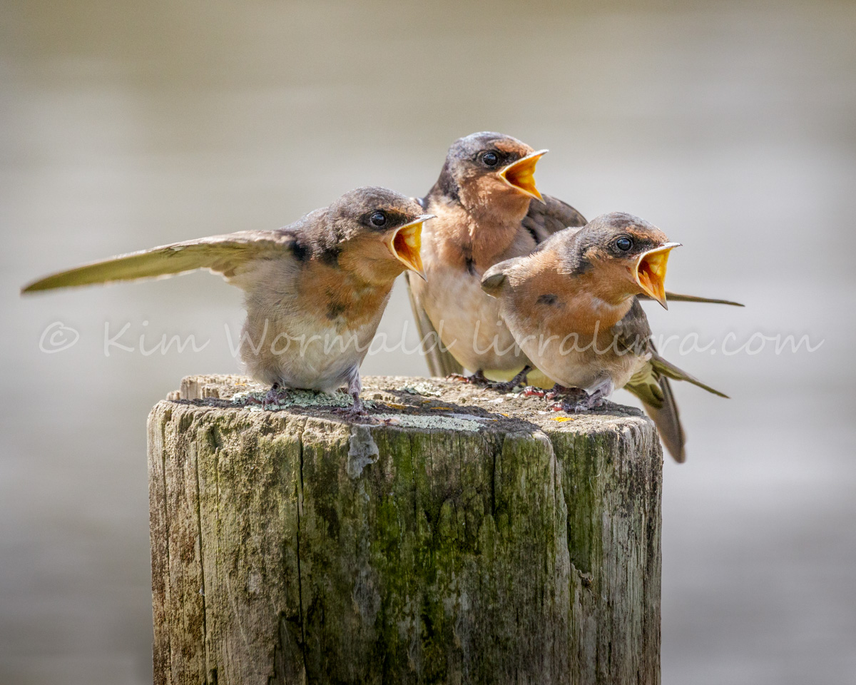 Hungry Triplets - Welcome Swallow
