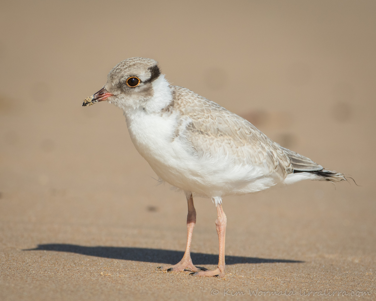 hooded-plover-kim-wormald