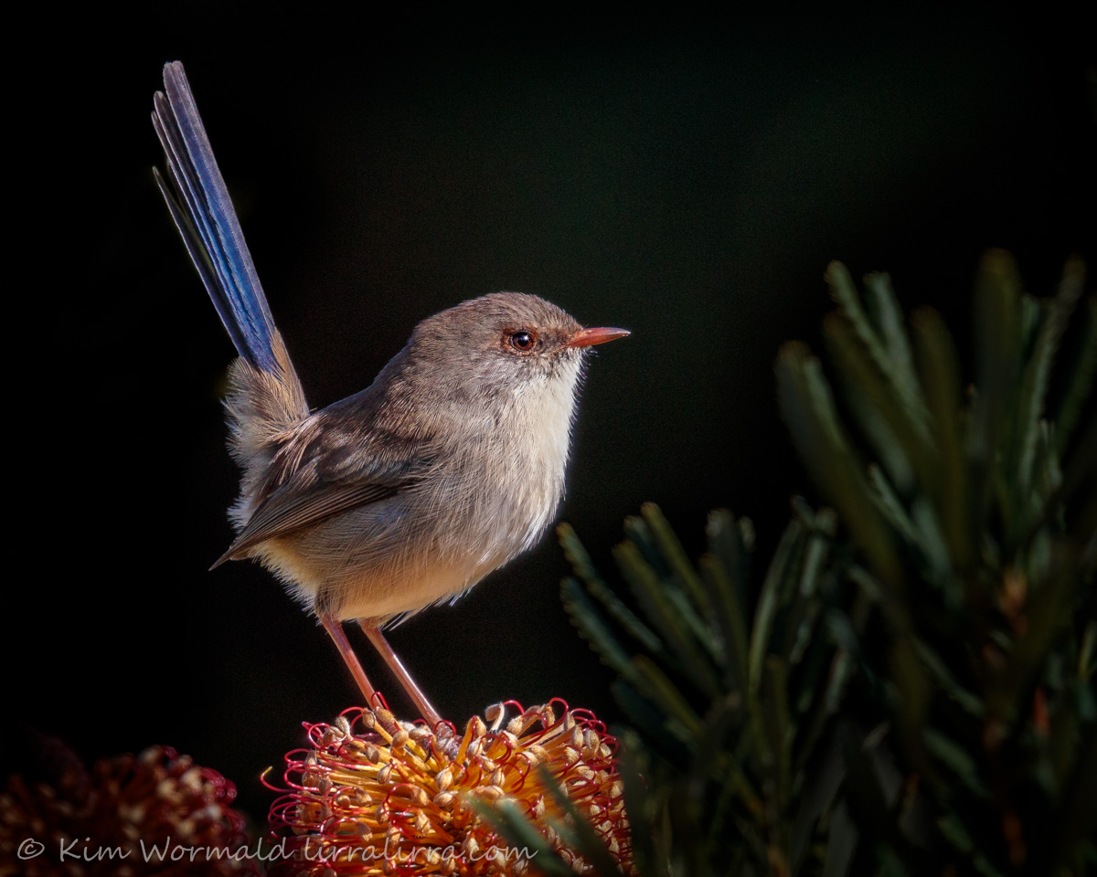 Young Male Fairy-wren