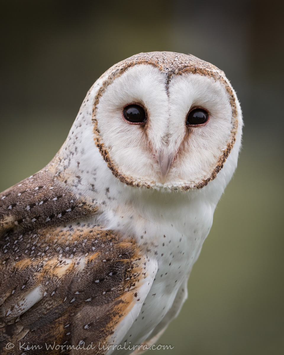 Barn Owl face off/Wisdom