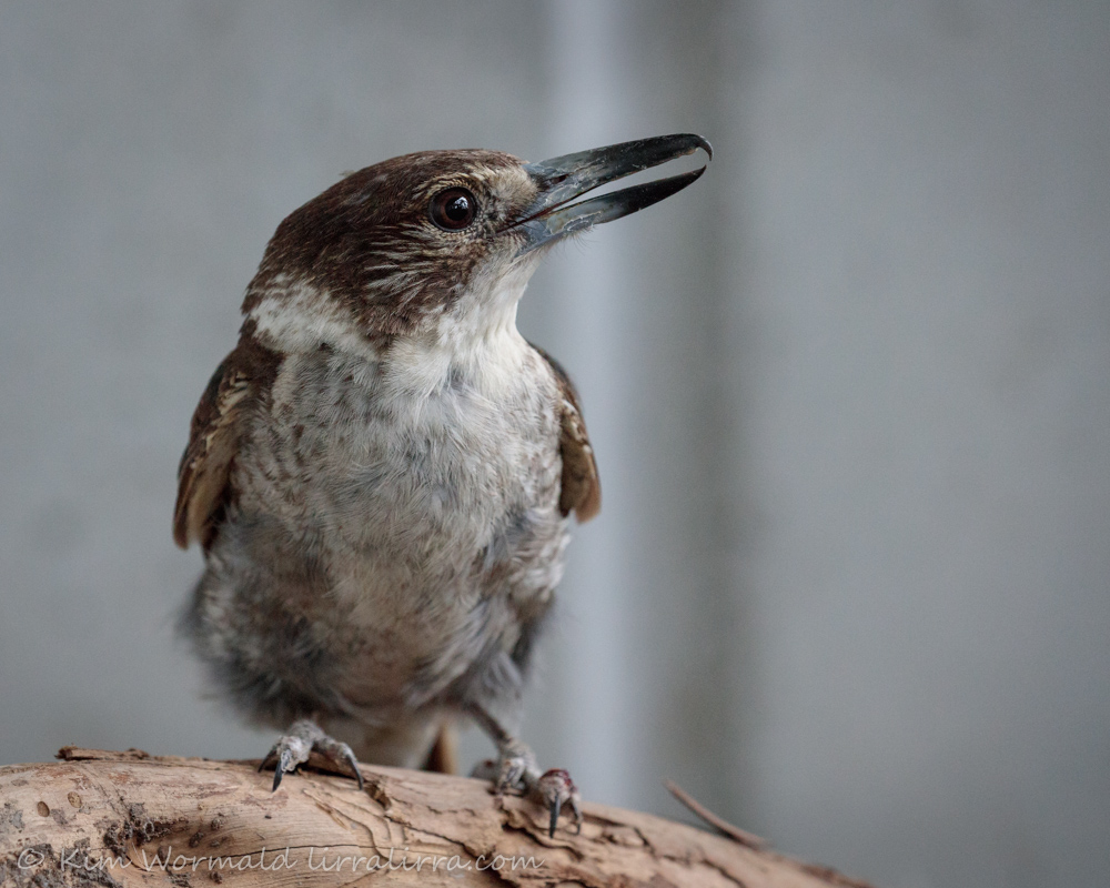 grey-butcherbird-kim-wormald