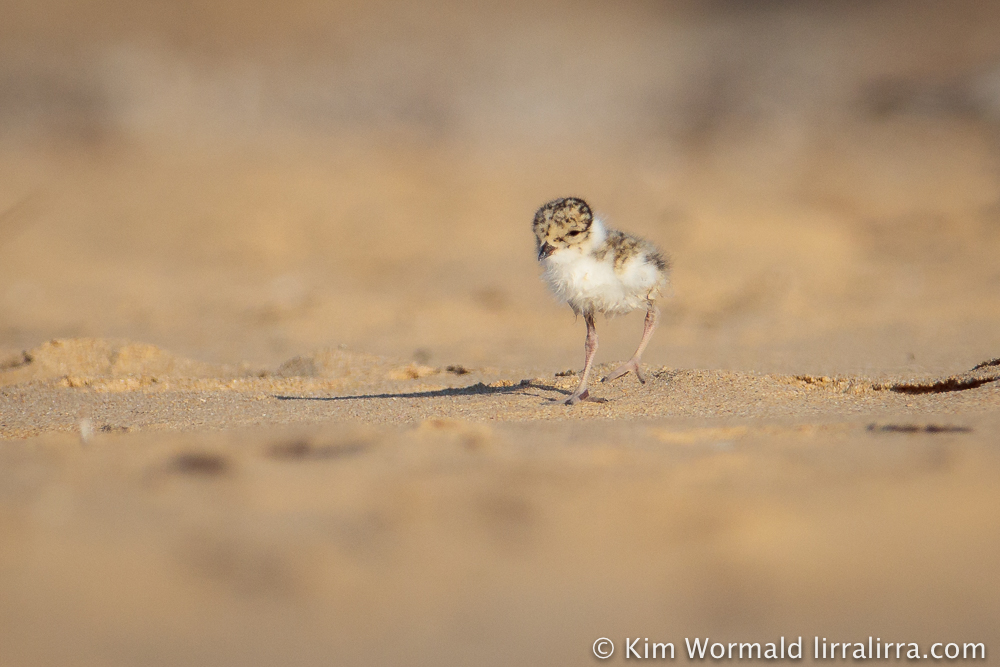 hooded-plover-chick-kim-wormald